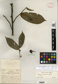 Isotype of Stenanona panamensis Standley [family ANNONACEAE]