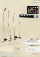 Isotype of Bletia sarcophylla H. G. Reichenbach [family ORCHIDACEAE]