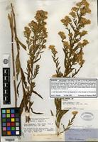 Syntype of Aster hesperius A. Gray [family ASTERACEAE]