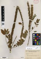 Isotype of Amorpha apiculata Wiggins [family FABACEAE]
