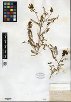 Holotype of Astragalus greenei A. Gray [family FABACEAE]