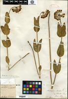Type of Asclepias meadii Torrey ex A. Gray [family ASCLEPIADACEAE]