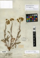 Isolectotype of Potentilla daucifolia Greene [family ROSACEAE]