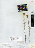 Isotype of Amida gracilis Nuttall [family ASTERACEAE]