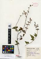 Isotype of Salvia cyanantha Epling [family LAMIACEAE]