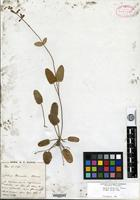 Isotype of Salvia prionitis Hance [family LAMIACEAE]