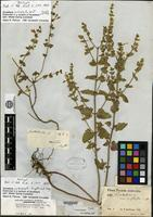 Holotype of Scutellaria cardiophylla Engelmann & A. Gray [family LAMIACEAE]
