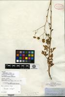 Isotype of Bahia pedata A. Gray [family ASTERACEAE]