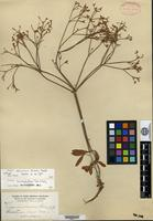 Isotype of Eriogonum salicinum Greene [family POLYGONACEAE]