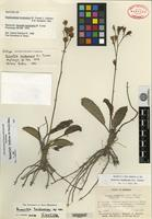Isotype of Acourtia hondurana B. L. Turner [family ASTERACEAE]