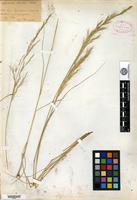 Type? of Aristida divulsa Andersson [family POACEAE]