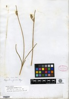 Isotype of Sisyrinchium sulcatum Gillies [family IRIDACEAE]
