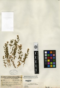 Isotype of Silene seelyi C. V. Morton & J. W. Thompson [family CARYOPHYLLACEAE]