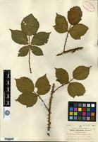 Type of Rubus multispinus Blanch. [family ROSACEAE]