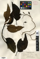 Isotype of Cyrtandra apoensis Elmer [family GESNERIACEAE]