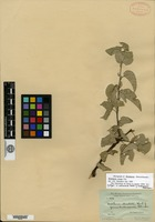 Syntype of Waltheria reticulata Hooker f. f. anderssonii B. L. Robinson [family BYTTNERIACEAE]