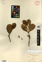 Isotype of Phoradendron inaequidentatum Rusby [family LORANTHACEAE]