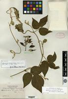 Isotype of Dolicholus ovatus Rusby [family FABACEAE]