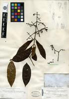 Isotype of Eugenia corynocarpa A. Gray [family MYRTACEAE]