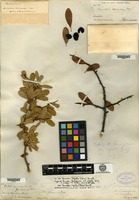 Syntype of Bumelia lanuginosa (Michaux) Persoon var. rigida A. Gray [family SAPOTACEAE]