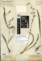 Syntype of Stenanthium occidentale A. Gray [family LILIACEAE]