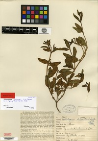 Holotype of Heliotropium schreiteri I. M. Johnston [family BORAGINACEAE]