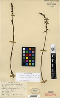 Isotype of Listera lindleyana King & Pantling [family ORCHIDACEAE]