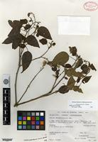 Holotype of Croton gomezii G. L. Webster [family EUPHORBIACEAE]