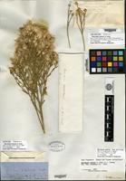 Type of Baccharis emoryi A. Gray [family ASTERACEAE]