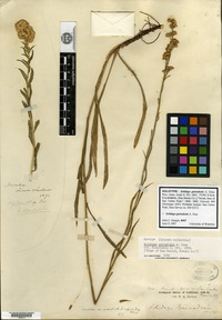 Holotype of Solidago guiradonis A. Gray [family ASTERACEAE]