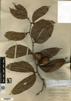 Isotype of Copaifera hemitomophylla Donnell Smith [family CAESALPINIACEAE]