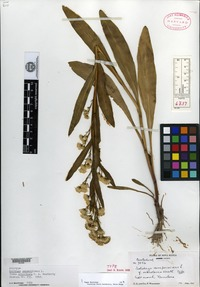 Holotype of Solidago sempervirens Linnaeus f. ochroleuca Weatherby [family ASTERACEAE]