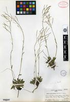 Isotype of Arabis crucisetosa Constance & Rollins [family BRASSICACEAE]