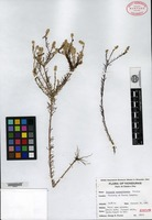 Isotype of Polygala mosquitiensis Proctor [family POLYGALACEAE]