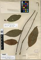 Isotype of Brosimum heteroclitum Donnell Smith [family MORACEAE]
