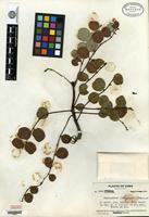 Isotype of Phyllanthus chryseus R. A. Howard [family EUPHORBIACEAE]