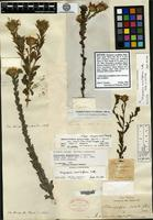 Isotype of Chrysopsis sessiliflora Nuttall [family ASTERACEAE]
