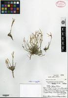 Isotype of Arabis ophira Rollins [family BRASSICACEAE]