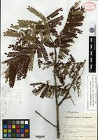 Isotype of Abarema ganymedea Barneby & J. W. Grimes [family MIMOSACEAE]