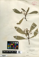 Isotype of Havetiopsis glauca Rusby [family CLUSIACEAE]