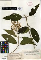 Isotype of Graffenrieda moritziana Triana [family MELASTOMATACEAE]