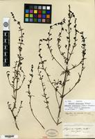 Isotype of Afzelia tenuisecta Pennell [family SCROPHULARIACEAE]