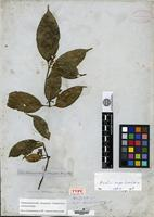 Isolectotype of Bonafousia attenuata Miers [family APOCYNACEAE]