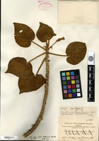 Type of Cyrtandra pickeringii A. Gray var. crassifolia Hillebrand [family GESNERIACEAE]