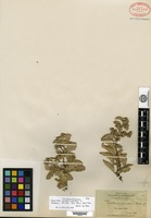 Isosyntype of Waltheria reticulata Hooker f. f. anderssonii B. L. Robinson [family BYTTNERIACEAE]
