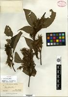 Isotype of Strobilanthes polythrix T. Anderson [family ACANTHACEAE]