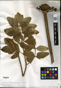 Type of Angelica hendersonii J. M. Coulter & Rose [family APIACEAE]