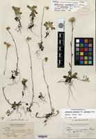 Holotype of Antennaria canadensis Greene var. spathulata Fernald [family ASTERACEAE]