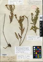Holotype of Aster oblongifolius Nuttall var. rigidulus A. Gray [family ASTERACEAE]