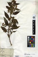 Isotype of Baccharis oxyodonta DC. [family ASTERACEAE]